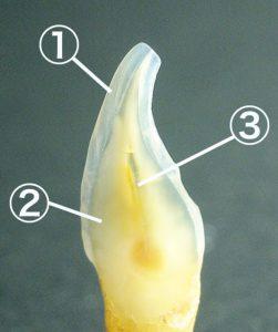 歯冠の構造